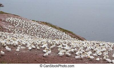 gannets birds colony at Bonaventure Island Quebec Canada...