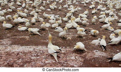 gannets birds colony at Bonaventure Island Quebec Canada at...