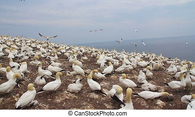 gannets colony at Bonaventure Island Quebec Canada at summer...