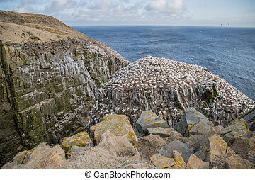 Gannets on Cliffside by the Sea