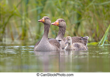 gans, greylag, familie