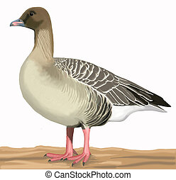 gans, pink-footed