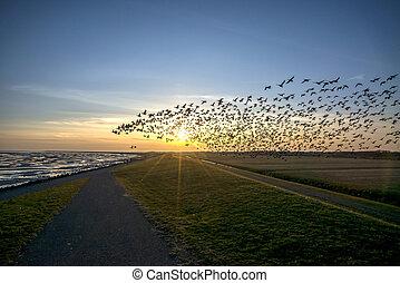 gans, vliegen