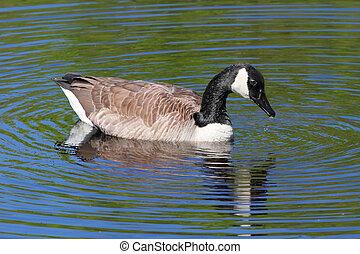ganso canadá, (branta, canadensis), natación