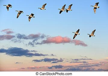 gansos canadá, sobre, voando, céu, pôr do sol