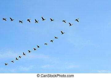 gansos canadenses, em, v, formação