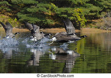 gansos, correndo, através, lago