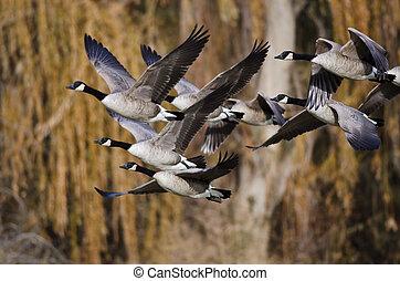 gansos de canadá, vuelo, a través de, el, otoño, bosque