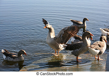 gansos, en, agua