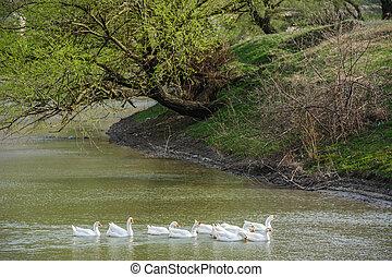 gansos, en, río
