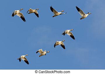 gansos, formação voadora, neve