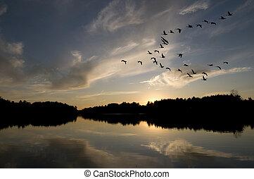 gansos, pôr do sol, canadense