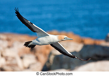 Gape Gannet flying at the sea to an island