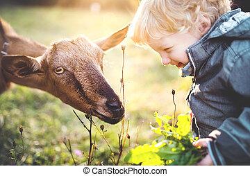 garçon, peu, alimentation, pré, dehors, enfantqui commence à marcher, chèvre, sunset.