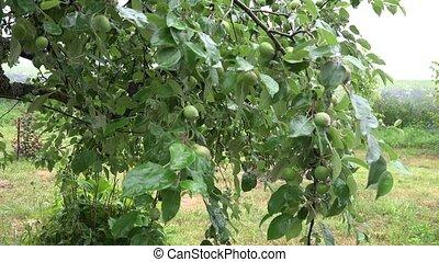 garden., été, pluvieux, pommier, 4k, brindille, jour