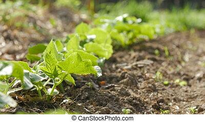 garden., выращивание, shoots, огурец, молодой
