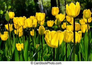 garden., красочный, весна, яркий, тюльпан, time., blossoms