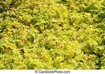 garden., растение, красочный, вверх, вверх, желтый, колеус, закрыть, посмотреть