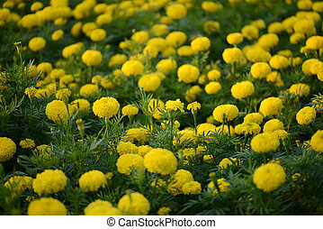 garden., マリーゴールド