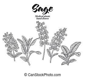 garden., 呼ばれる, 植物, セット, バックグラウンド。, 葉, セージ, 隔離された, イラスト, 手, ...