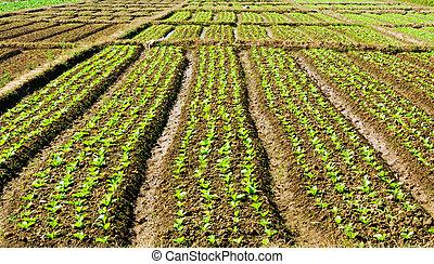 garden., 野菜