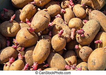garden., aanplant, aardappels, zaad, achtergrond, germinated