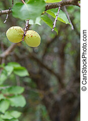 garden., abricot, fruits, branche arbre, vert