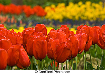 Red tulips in spring