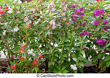 Garden Balsam or Rose Balsam - Focus Picture violet Garden...