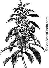 Garden Balsam or Rose Balsam or Impatiens balsamina, vintage engraving. Old engraved illustration of a Garden Balsam plant showing flowers.