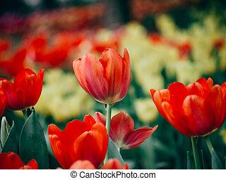 garden., beau, tulips., coloré, bouquet, tulipes, fleurs