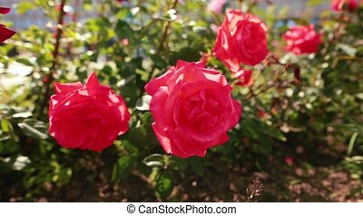 garden., beaucoup, vent, roses rouges
