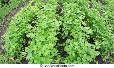 Garden bed parsley - In small garden of growing parsley