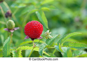 garden berry hybrid of blackberry and raspberry