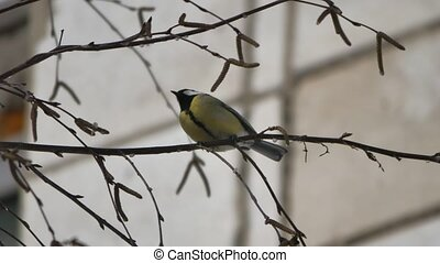 Garden bird Great tit (Parus major).sitting on a branch....