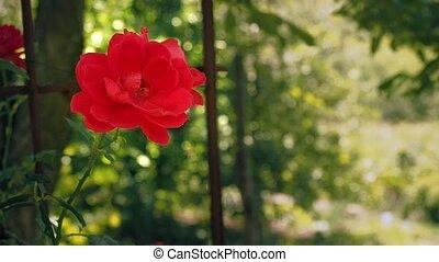 garden., boven., bloem, selectief, roos, leaves., tegen,...