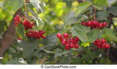 garden., branche arbre, viburnum, rouges