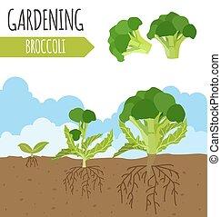 garden., broccoli., 植物, 成長