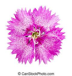 garden carnation, Sweet William or Dianthus barbatus. ...