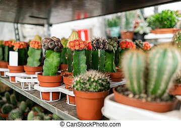 Garden center and wholesale supplier concept. Many different cacti in flower pots in flowers store on the shelves of trolley. Lot of potted small cactus and succulent plants sale.