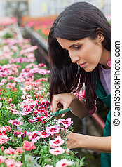 Garden center worker cutting flowers