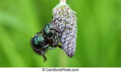 Garden chafer mating in a closeup