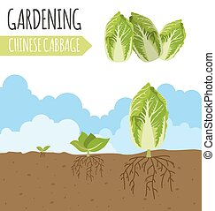 Garden. Chinese cabbage. Plant growth.