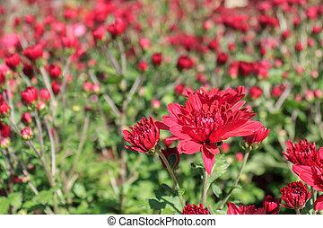 garden., chrysanthème, rad, fleurs