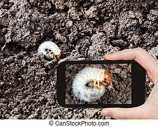 man taking photo of white grub of cockchafer - garden...