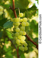 garden., crescendo, uvas, ramo