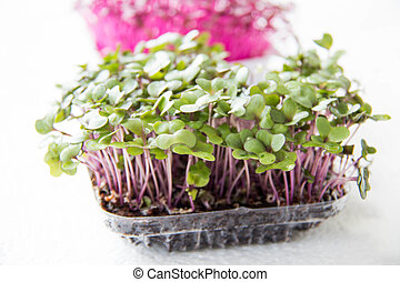 Garden cress organic sprouting seedlings, fresh and healthy....