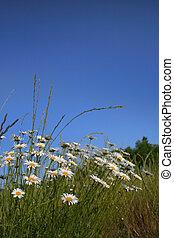 Garden Daisies