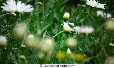 Garden daisy. - Large garden daisy, variable focus.