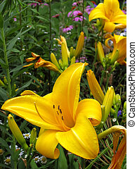 garden daylily flower blooming with vibrant color